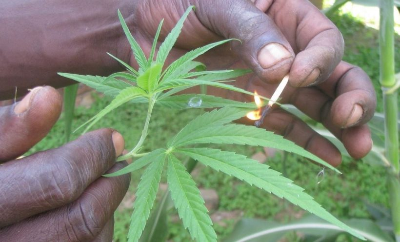 CannabisAfrique