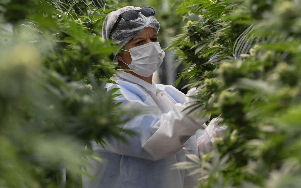 Femme dans une serre de cannabis