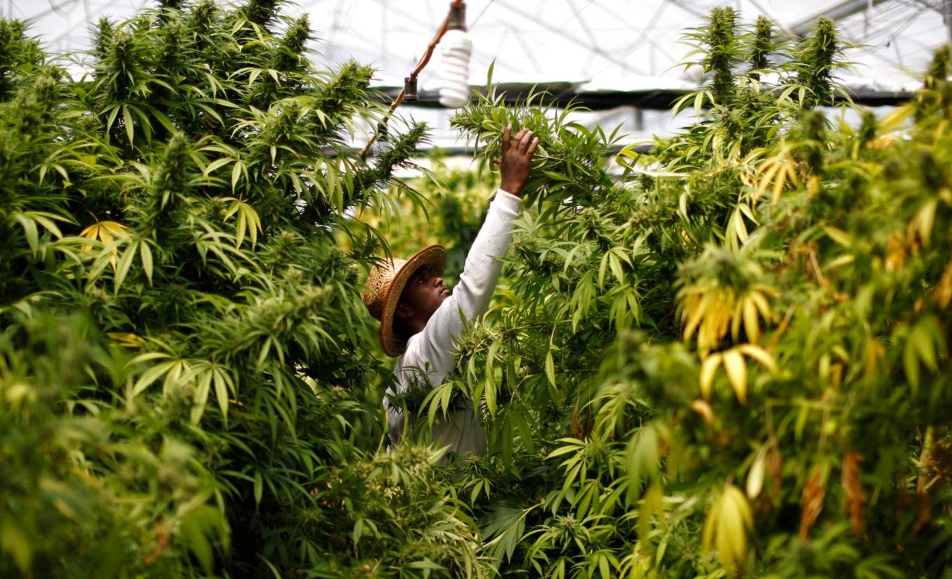 Homme au milieu de ses plants de cannabis