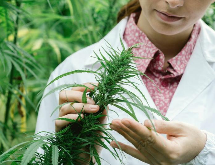 femme chercheuse analyse plante de cannabis