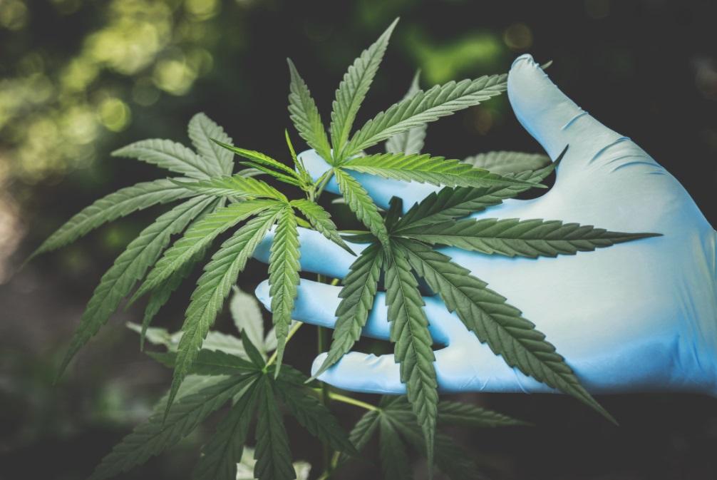 plante cannabis feuille main gant